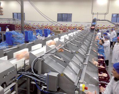 Système de triage classique avec tapis d'alimentation, pesage dynamique et tapis de triage